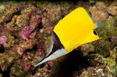 Yellow Longnose Butterfly in Aquarium — Stock Photo