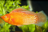 Red Sailfin Molly in Aqaurium — Stock Photo