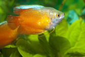 Dwarf Gourami in Aquarium — Stock Photo