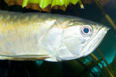 Silver Arowana Portrait in Aquarium — Foto Stock
