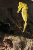 Longsnout Seahorse — Stock Photo
