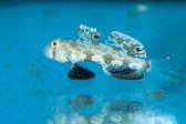 Two Spot Goby in Aquarium — Stock Photo