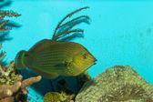 Dusky Wrasse in Aquarium — Stock Photo