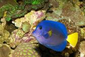 Purple Tang in Aquarium — Stock Photo
