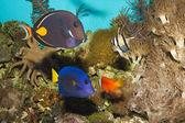 Reef Fishes in Aquarium — Stock Photo