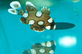 Spotted, Clownfish, Harlequin Sweetlips — Stock Photo
