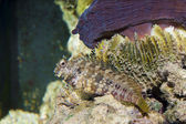 Lawnmower Blenny in Aquarium — Stock Photo