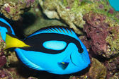 Hippo Blue Tang (Paracanthurus hepatus) — Stock Photo