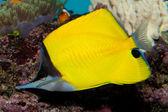 Yellow Longnose Butterflyfish — Stock Photo
