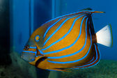 Blue Ring Angelfish (Pomacanthus annularis) — Stock Photo