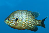 Pumpkinseed (Lepomis gibossus) — Stock Photo