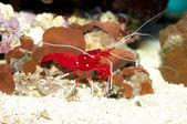 Fire or Debelius Shrimp (Lysmata debelius) — Stockfoto