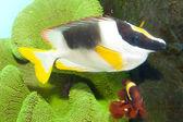 Magnificent Rabbitfish or Foxface in Aquarium — Stock Photo