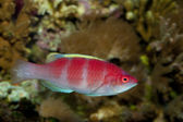 Yellow Fin Fairy Wrasse — Stock Photo