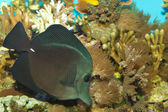 Black Longnose Sailfin Tang — Stock Photo