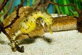 Longsnout Seahorse (Hippocampus reidi) — Stock Photo