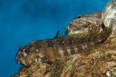 Lawnmower Blenny (Salarias fasciatus) — Stock Photo