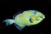 Yellowspotted Triggerfish (Pseudobalistes fuscus) — Stock Photo