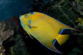 Queen Angelfish (Holacanthus ciliaris) — Stock Photo
