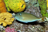 Sargassum Triggerfish (Xanthichthys ringens) — Stock Photo