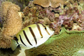 Convict Tang (Acanthurus triostegus) — Stock Photo