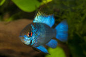 Blue Ram (Mikrogeophagus ramirezi) — Stock Photo