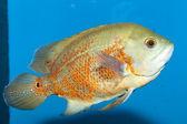 Oscar ryby — Stock fotografie