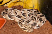 Puff Adder in Terrarium — Stock Photo