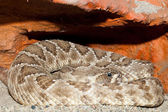 Diamondback rattle snake — Stock Photo