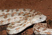Levant or Lebentine Viper — Stock Photo