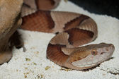 Moccasin Cooperhead Snake — Stock Photo
