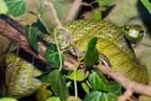 Red Tailed Green Ratsnake — Foto de Stock