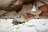 Moccasin Copperhead portrait — Stock Photo