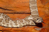 Texas Diamondback Rattlesnake — Stock Photo