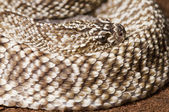 Uracoan Rattlesnake — Stock Photo