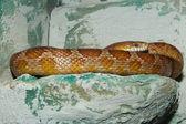 Corn Snake (Elaphe guttata) — Stock Photo