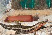 Sudan Plated Lizard in terrarium — Stock Photo