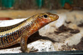 Sudan plated lizard portrait — Stock Photo