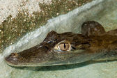 Dwarf Caiman Portrait — Stock Photo