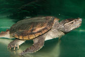 Alligator Snapping Turtle — Stock Photo