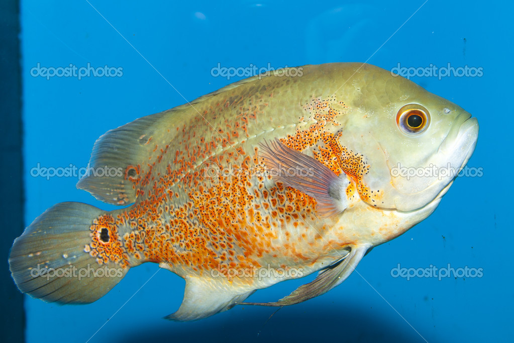 Oscar Fish (Astronotus ocellatus) in Aquarium  Stock Photo #14152494