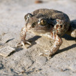 Common Spadefoot - Stock Photo
