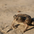 common spadefoot — Stock Photo