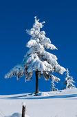Sapin recouvert de neige en hiver — Photo