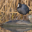 Common Coot — Stock Photo