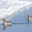 Greylag Geese — Stock Photo