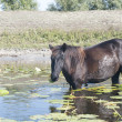 Horse grazing waterlily leaves — Stock Photo