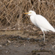 Cattle Egret — 图库照片
