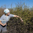 Stock Photo: Young Wompicking sloe or blackthorn fruits
