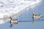 Greylag Geese — Stock Photo